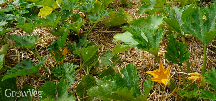 Courgettes with a straw mulch