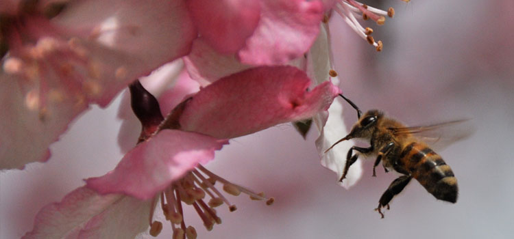https://s3.eu-west-2.amazonaws.com/growinginteractive/blog/crab-apple-blossom-bee-2x.jpg