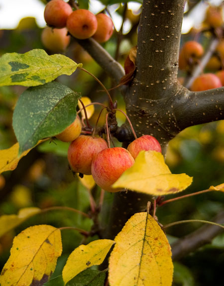 Crab apples in the garden