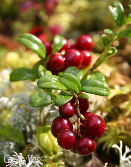 Using ericaceous beds for cranberries