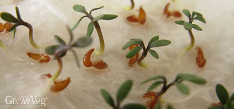 Growing cress on kitchen roll