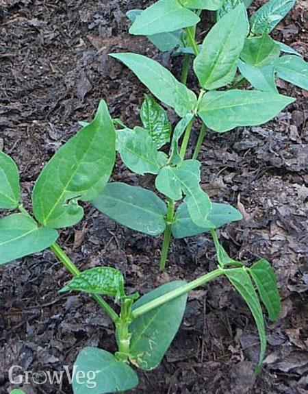 Crowder pea seedlings