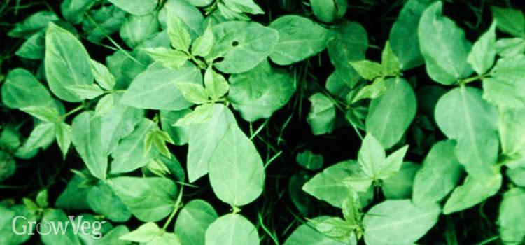 Crowder peas as a cover crop