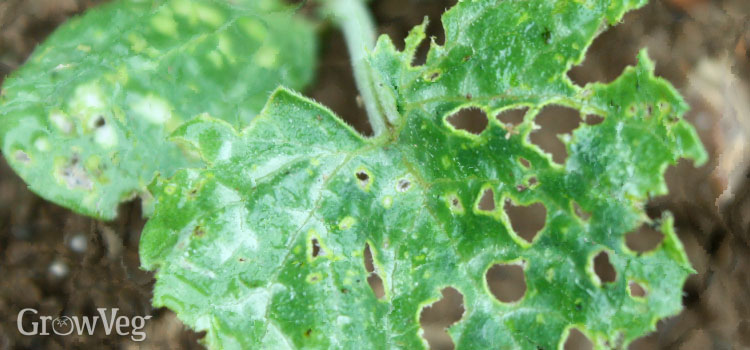 Cucumber beetle damage