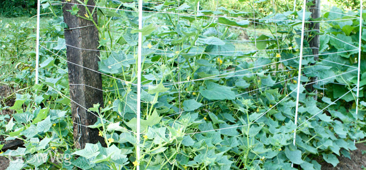 Cucumbers growing up a trellis with fencing