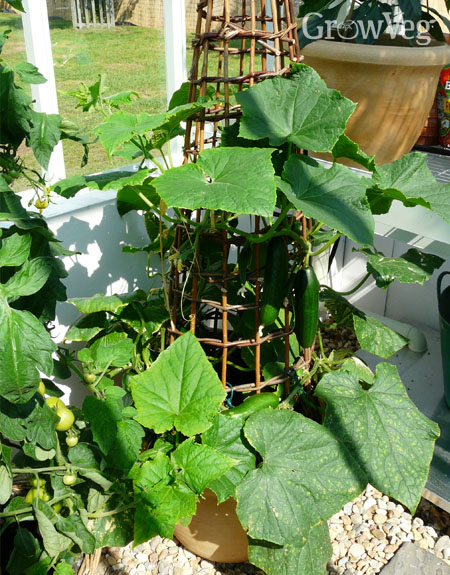 Outdoor cucumber trained up a wigwam