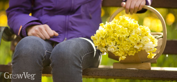Different types of daffodil in a trug