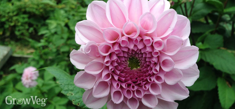 Dahlias in a cut flower garden