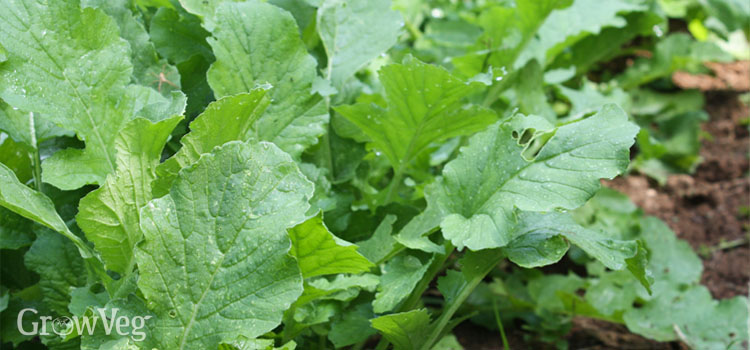 https://s3.eu-west-2.amazonaws.com/growinginteractive/blog/daikon-radish-green-manure-2x.jpg