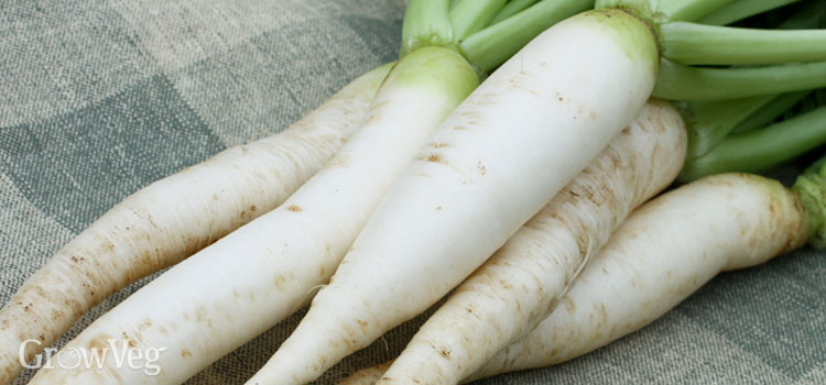 Try Asian Radishes This Autumn