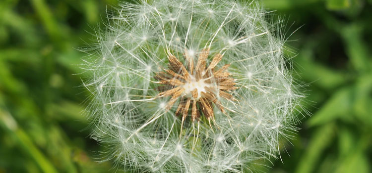 https://s3.eu-west-2.amazonaws.com/growinginteractive/blog/dandelion-seedhead-2x.jpg