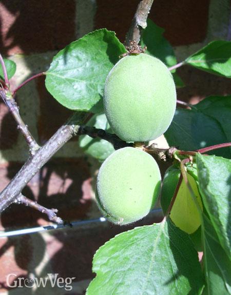 Immature apricots