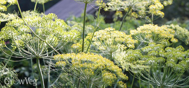 https://s3.eu-west-2.amazonaws.com/growinginteractive/blog/dill-flowers-2x.jpg