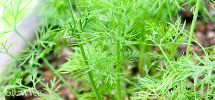 Growing dill to use in canning recipes