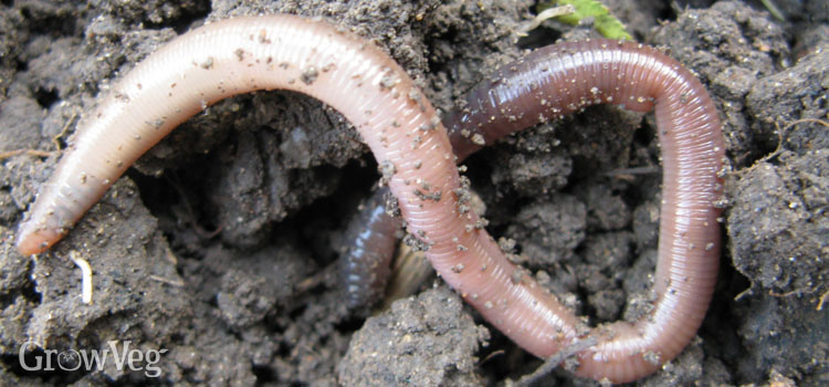 Worm in the soil
