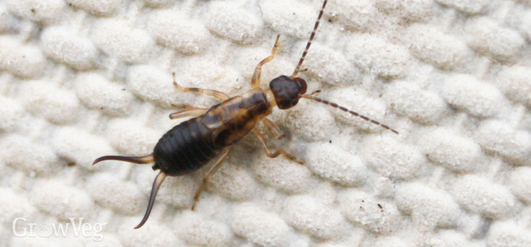 Earwigs in the vegetable garden