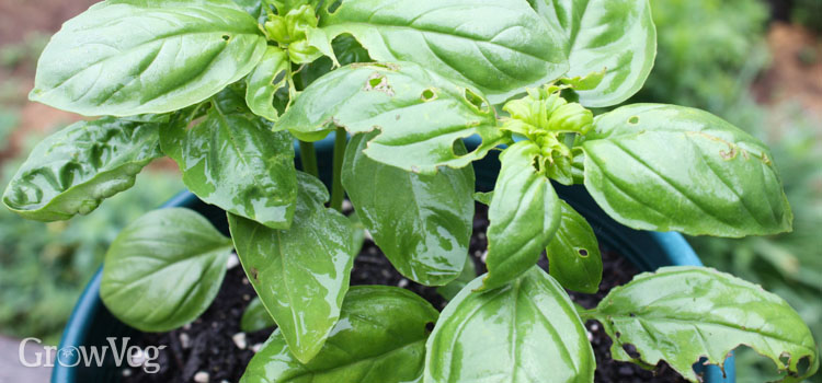 Earwig damage to basil leaf