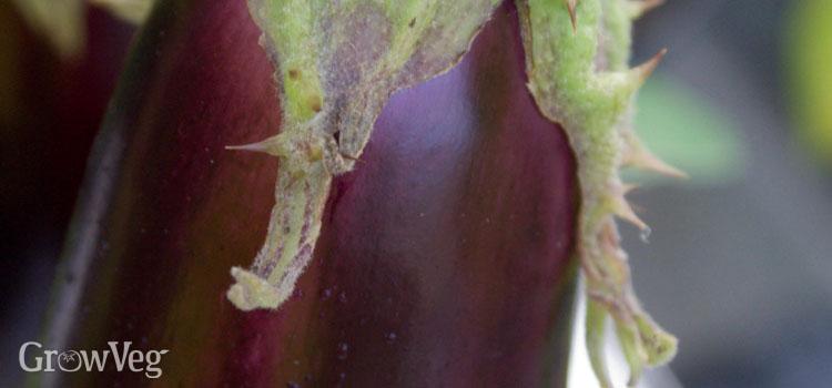 Closeup of an eggplant fruit