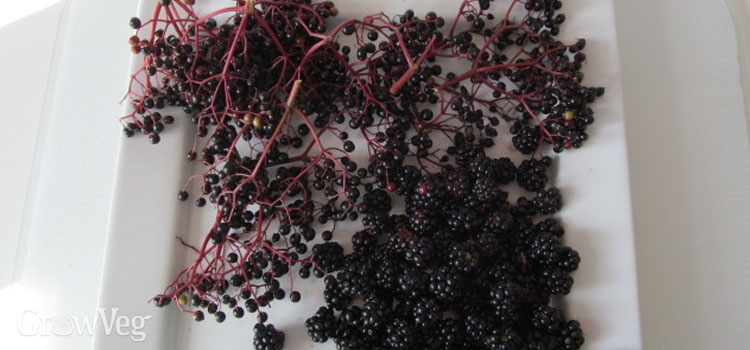 Blackberries and elderberries