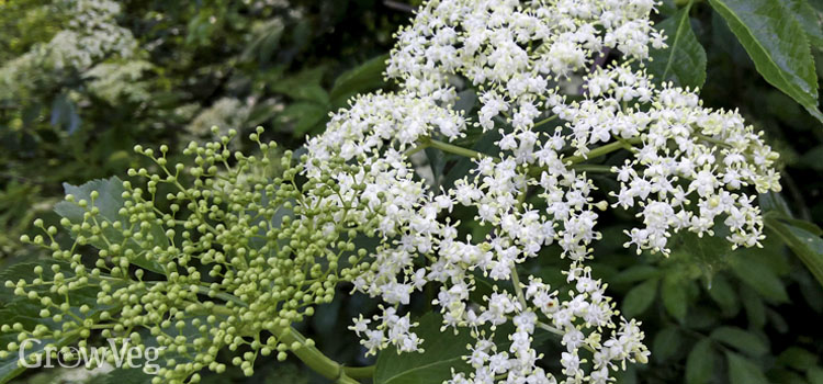 """Elderflowers"""