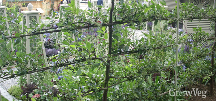 Espalier-trained apple tree