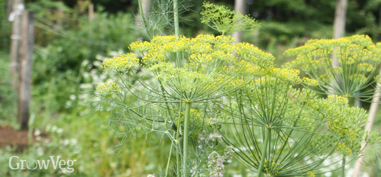 https://s3.eu-west-2.amazonaws.com/growinginteractive/blog/fennel-flowers.jpg
