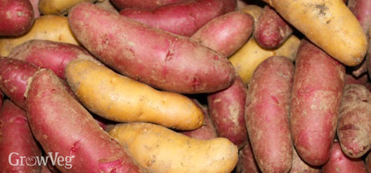 https://s3.eu-west-2.amazonaws.com/growinginteractive/blog/fingerling-potatoes-2x.jpg