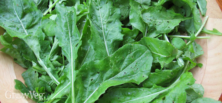 Flea beetle damage on arugula leaves