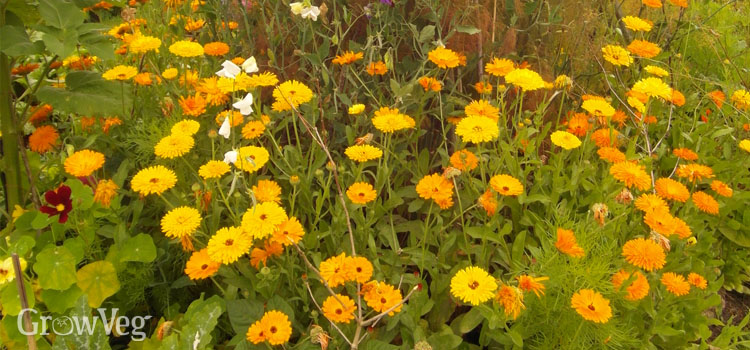 Companion planting flowers to draw beneficial insects in to the vegetable garden.