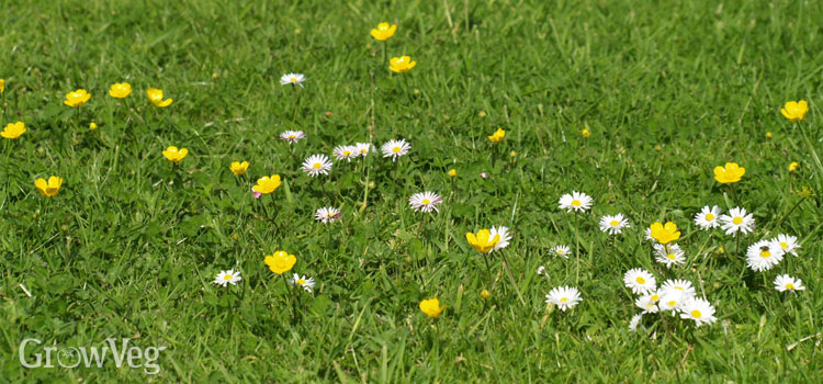 Daisies and buttercups growing in a lawn