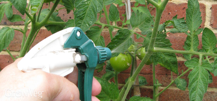 Spraying nutrients directly onto tomato leaves