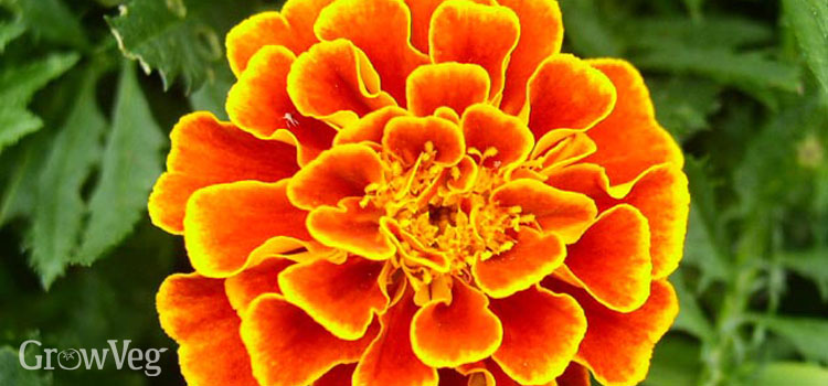 French marigolds provide bright colour in the autumn garden