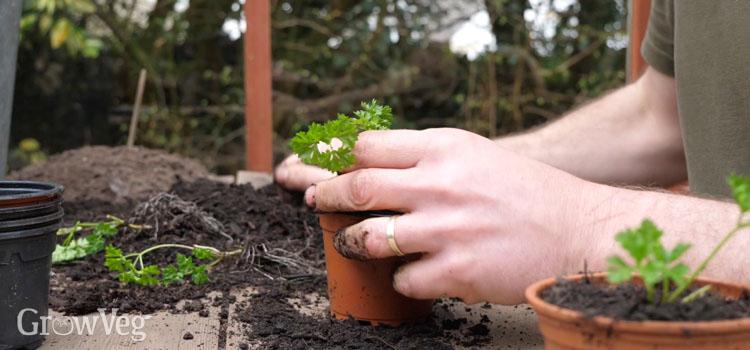 https://s3.eu-west-2.amazonaws.com/growinginteractive/blog/fresh-herbs-potting-up-parsley-2x.jpg