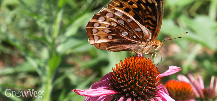 Fritillary butterfly on an Echinacea flower