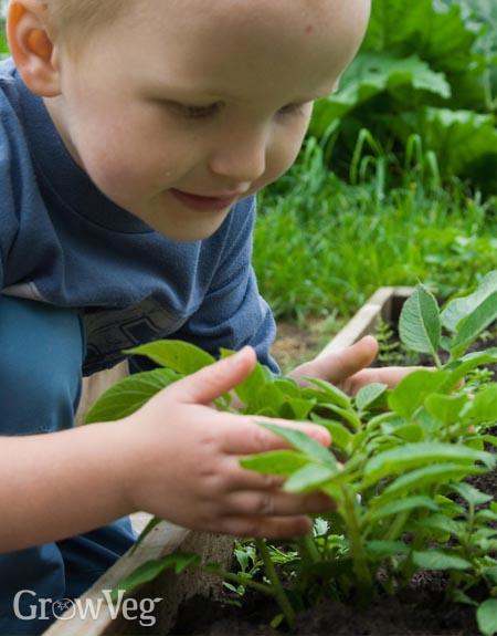 Boy and potato plants