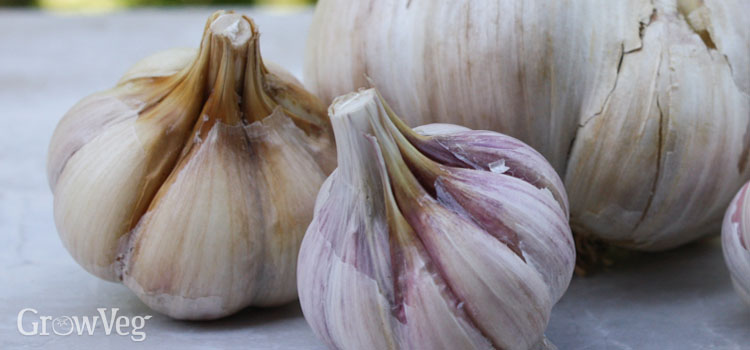 Home-grown garlic