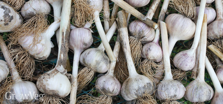 Curing garlic with soil on