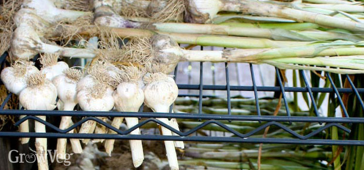Garlic curing on a rack