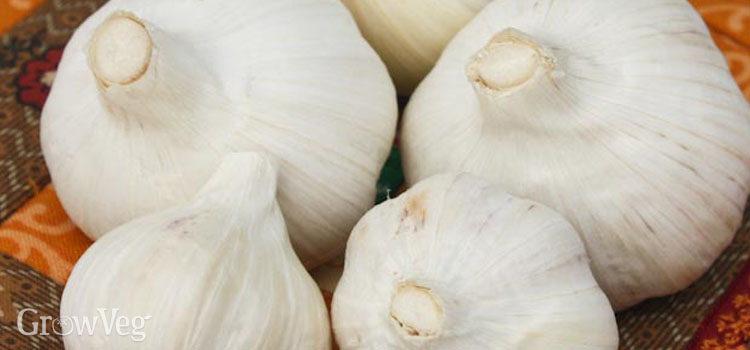 Different garlic varieties grow well in different regions