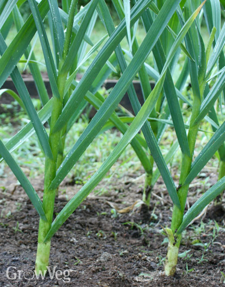 Garlic plants
