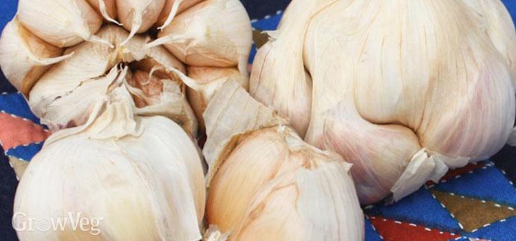Plant garlic cloves knuckle deep