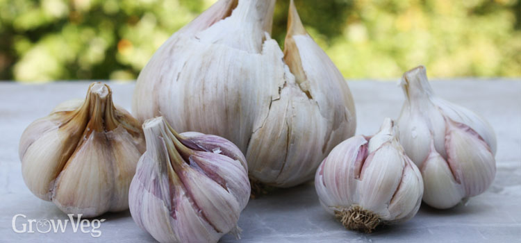 Several different garlic varieties