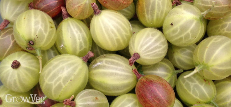 Growing Gooseberries
