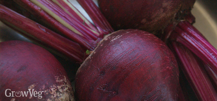 https://s3.eu-west-2.amazonaws.com/growinginteractive/blog/gourmet-garden-beets-2x.jpg