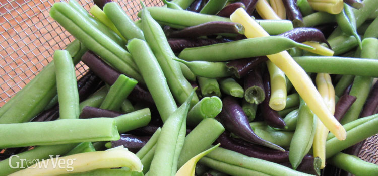 Gourmet purple, yellow and green beans
