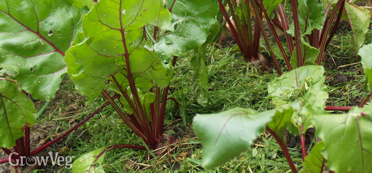 Grass clipping mulch around beetroot