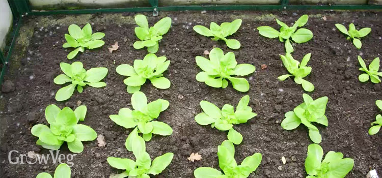 Salad seedlings in a greenhouse border