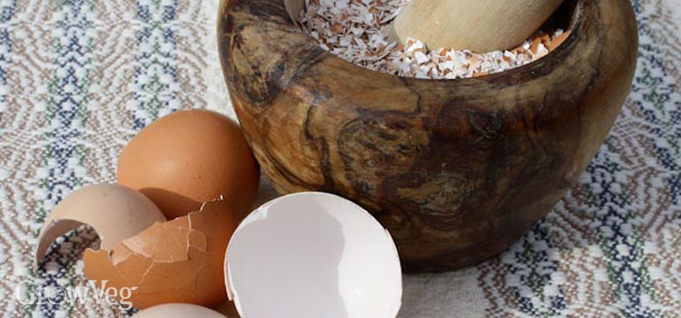 Grinding eggshells to add calcium to garden soil
