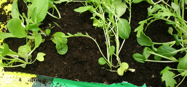 Growing salad leaves in used potting soil
