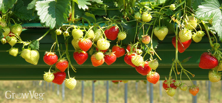 Growing strawberries in guttering